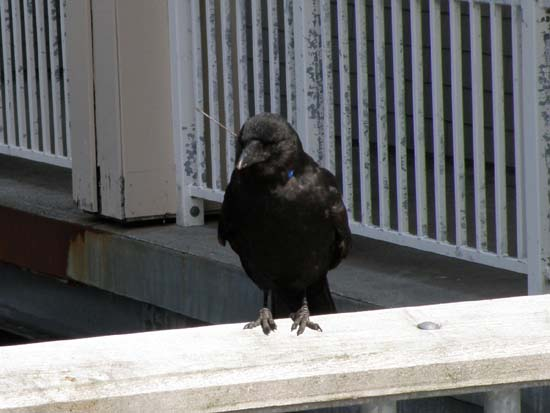 Raven with a dart through its head standing on the other railing.