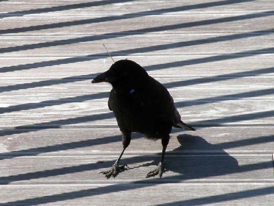 Raven with a dart through its head standing on the dock.