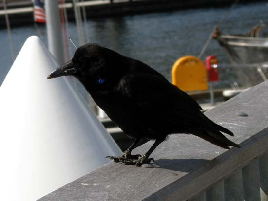 Raven with a dart through its head standing on the railing.