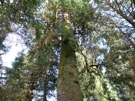 Upper part of a Sitka spruce near Ward Lake in Ketchikan, Alaska.