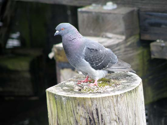 Pigeon on a piling.