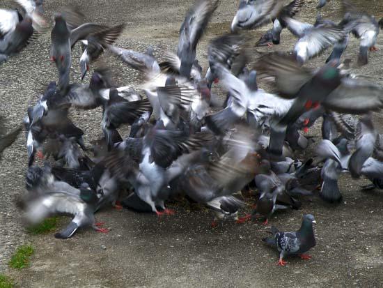 Blurred Amorphous Mass of Birds