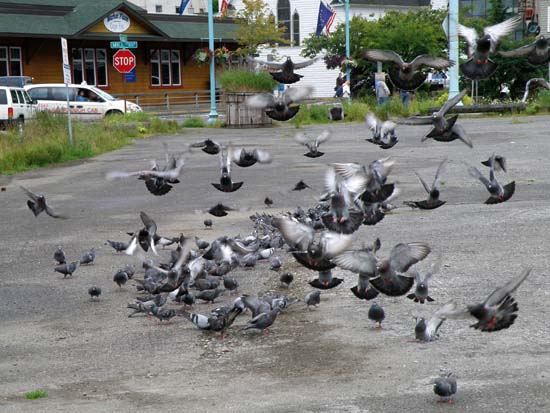 Flight of the Pigeons