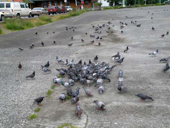 The Pigeon Gathering