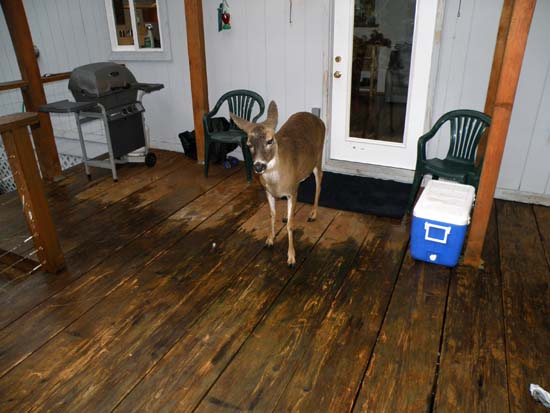 Deer on my uncle's deck.