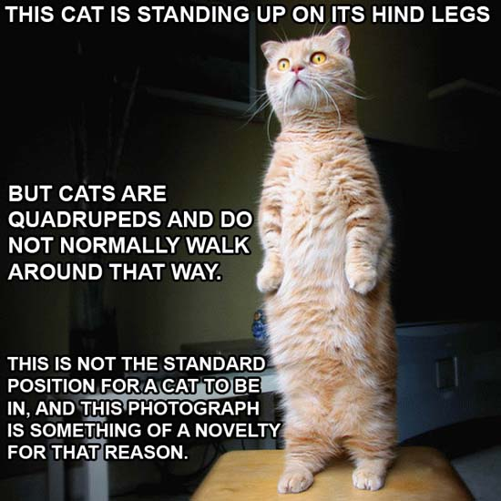 This cat is standing up on its hind legs but cats are quadrupeds and do not normally walk around that way. This is not the standard position for a cat to be in, and this photograph is something of a novelty for that reason.