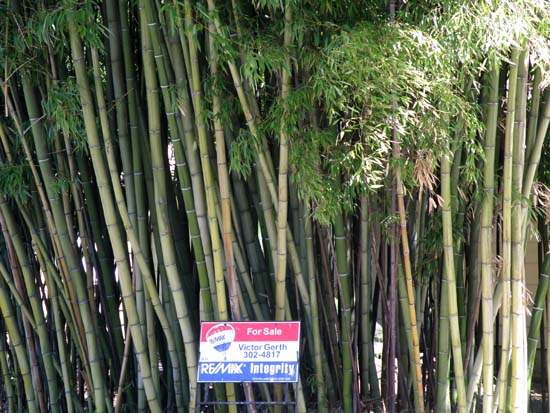 Bamboo with a for sale sign
