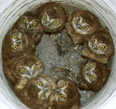 bucket of baby owls