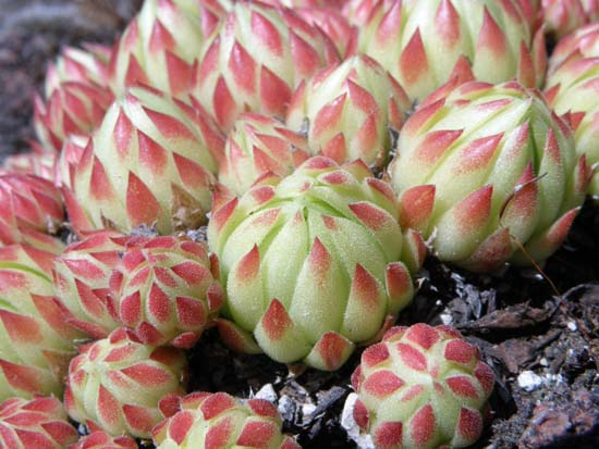 Succulent hen and chicks.