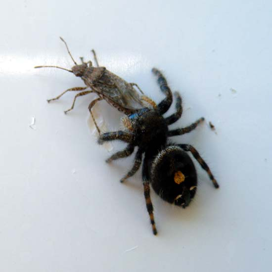 Bold jumping Spider with a fly in its mouth.